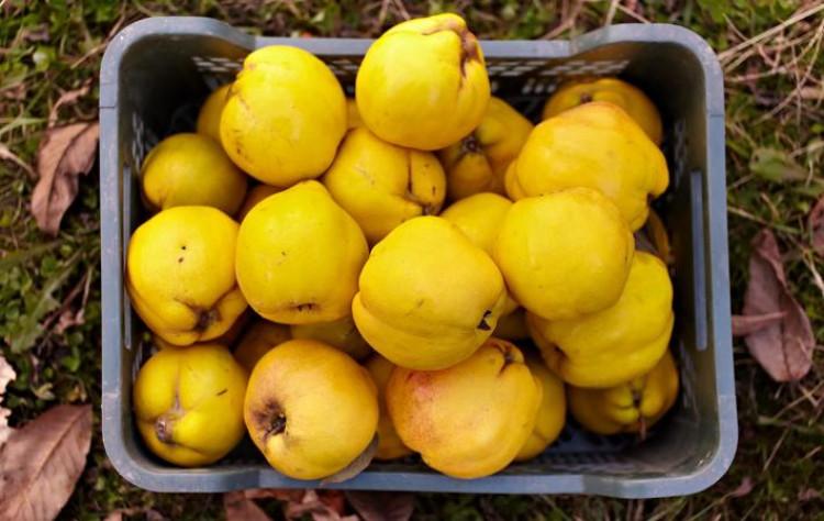 Что за фрукт такой айва?